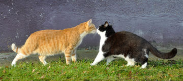 Kiss cats Stock Images