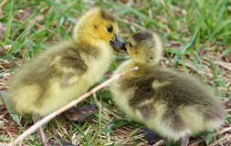 A kiss of chicks of the Canada geese Stock Images