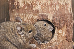 Kiss degus Royalty Free Stock Images