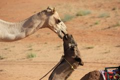 A Kiss in the Desert _ Camels Kissing Stock Photography