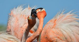Kiss of  Flamingo. Royalty Free Stock Photos