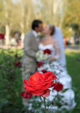 Kiss of the groom and the bride. Rose against the newly-weds Royalty Free Stock Photography