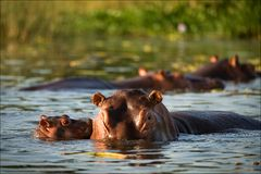 Kiss hippopotamus. Stock Photo