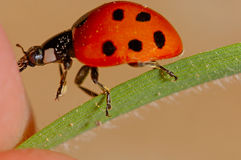 The kiss of the insect. Small ladybug approaching a finger Stock Image