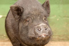 Kiss me, darling!. A head portrait of a black Vietnamese Potbelly pig watching other animals on a farm outdoors Stock Photos