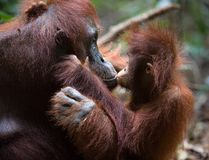 Kiss for mum. A female of the orangutan with a cub in a native habitat.The cub of the orangutan kisses mum.  Rain wood of Borneo Stock Images