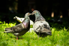 Kiss Pigeons Stock Photography