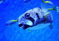 Kiss from poisonous fish Stock Photo