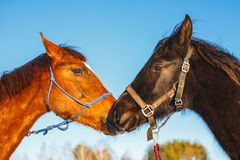 Kiss of two Arab horses of black and red color against the blue sky stock photo