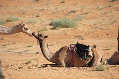 Kiss between two camels in the desert. Stock Photo
