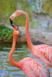 A kiss of two flamingos. Graceful bends of two gentle pink flamingos Stock Photos