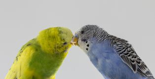 Kiss wavy parrots. Little birds touched each other's beaks. Close up stock photos