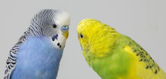 Kiss wavy parrots. Little birds touched each other& x27;s beaks. Close up royalty free stock photo