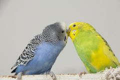 Kiss wavy parrots. Little birds touched each other's beaks. Close up stock photo