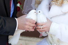 Kiss of white pigeons Stock Image