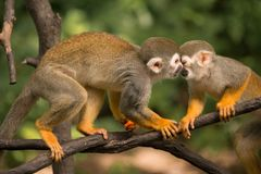 Kissed by a squirrel monkey. Adult female squirrel monkey caring for her baby. First a kiss then food stock photos