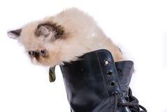Kissekatt i kängor - Himalauan kan i känga Royaltyfri Bild