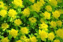 Kissen spurge Blumen stockfoto