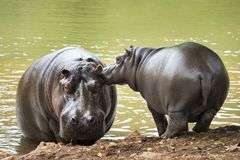 Kisses for mom hippo. Hippo baby giving affection to his mother next to a lake of green water Royalty Free Stock Photos