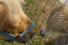 Kissin through the fence. A pony and llama appear to be kissing through their fence enclosures this was taken at the Bear Den farm in West Bend WI stock photos