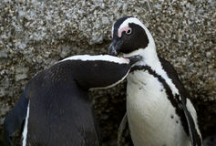 Kissing African penguins Stock Image