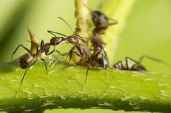 Kissing Ant Royalty Free Stock Photos