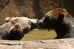 Kissing bears Stock Images