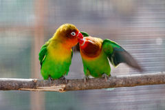 Kissing beautiful green lovebird parrot Royalty Free Stock Photography