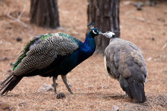 Kissing birds peacocks. Love concept Stock Photo