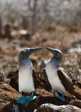 Kissing Blue-footed Boobys. Stock Photo