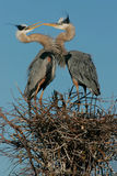 Kissing Blue Herons. This image was taken at a wetlands area in South Florida Royalty Free Stock Photos