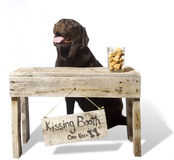 Kissing Booth - Britley, English Chocolate Lab. A chocolate English Lab smiles and waits for more customers at her Kissing Booth Stock Photos