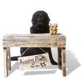 Kissing Booth - Dante, Black English Lab. A black English Lab implores you to visit his Kissing Booth Royalty Free Stock Photography