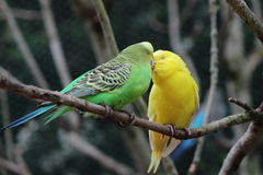 Kissing budgerigars. Two budgerigar (Melopsittacus undulatus) sitting on branch and kissing Stock Photography