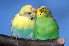 Kissing Budgie Pair. Breeding pair of budgies with the male budgie bird kissing his mate Stock Images