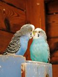 Kissing Budgies Stock Images
