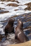 Kissing California sea lion Zalophus californianus. Kiss on the rocks of La Jolla Cove in Southern California Stock Images