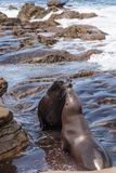 Kissing California sea lion Zalophus californianus. Kiss on the rocks of La Jolla Cove in Southern California Stock Image