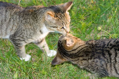 Kissing cats. Two cats standing nose to nose outdoors in the grass stock images
