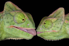 Kissing chameleons. Two baby veiled chameleons appear to be about to kiss Stock Photo