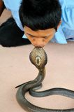 Kissing Cobra Royalty Free Stock Photo