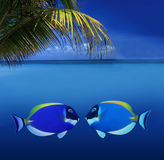 Kissing Colorful Fishes. 2 Kissing Colorful Tropical Fishes royalty free stock images