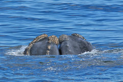 KISSING COUSINS. 2 Southern right whale head showing it's calositie patern Stock Photography