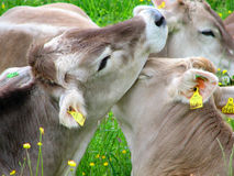 Kissing cows Royalty Free Stock Photos