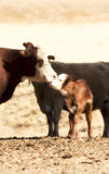 Kissing Cows stock image