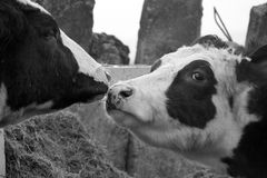 The kissing cows stock photos