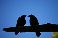 Kissing Crows Silhouette Royalty Free Stock Photo