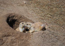 Kissing Dogs. Two prairie dogs kissing in at the entrance to the burrow Royalty Free Stock Photo
