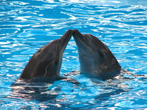 Kissing dolphins Stock Image