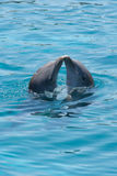 Kissing dolphins Royalty Free Stock Image